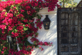 Bougainvillea: The 'Go To' Global Classic